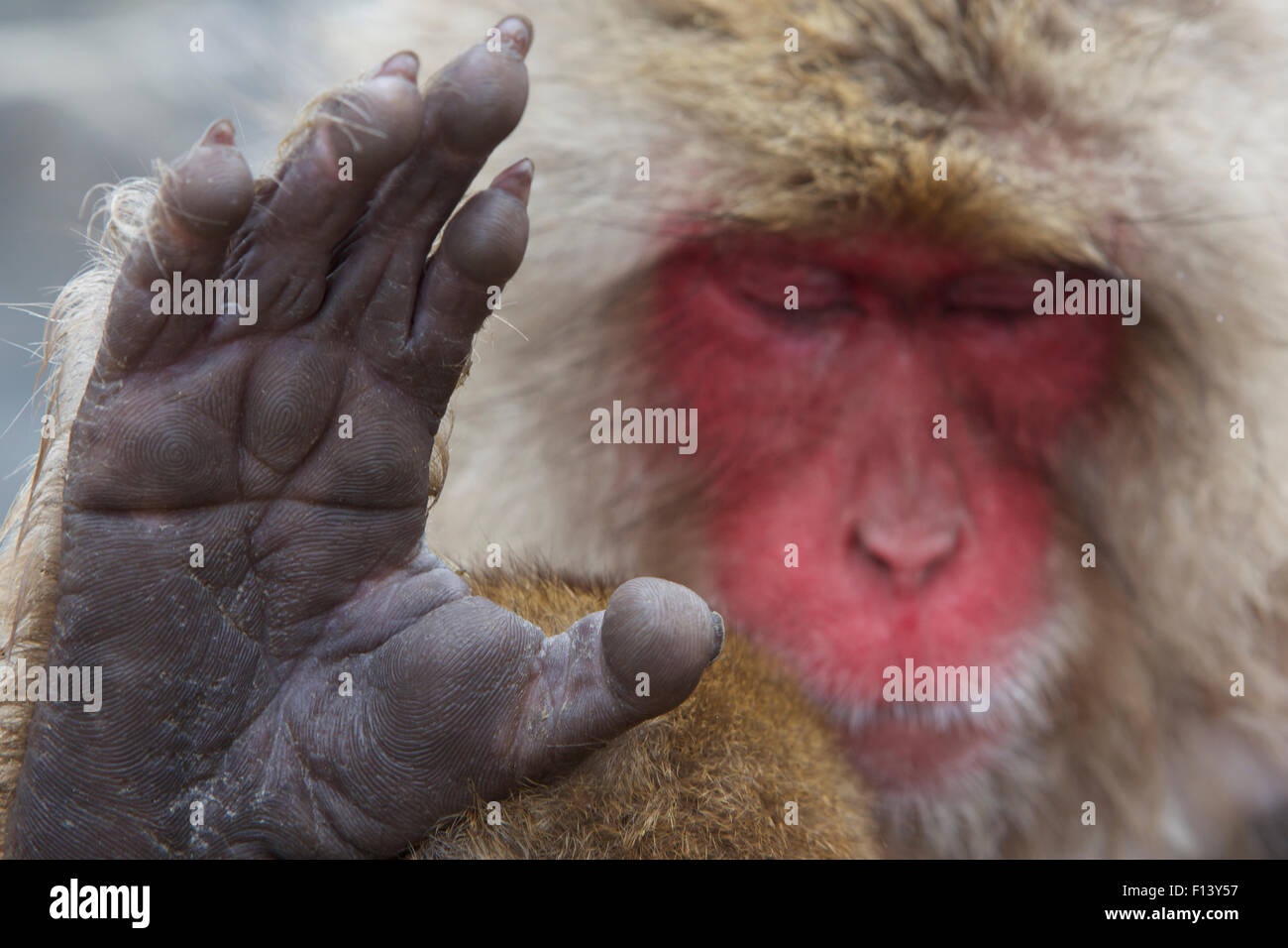 Japanese macaque (Macaca fuscata) sleeping at hot spring in Jigokudani, Yaenkoen, Nagano, Japan, February. - Stock Image