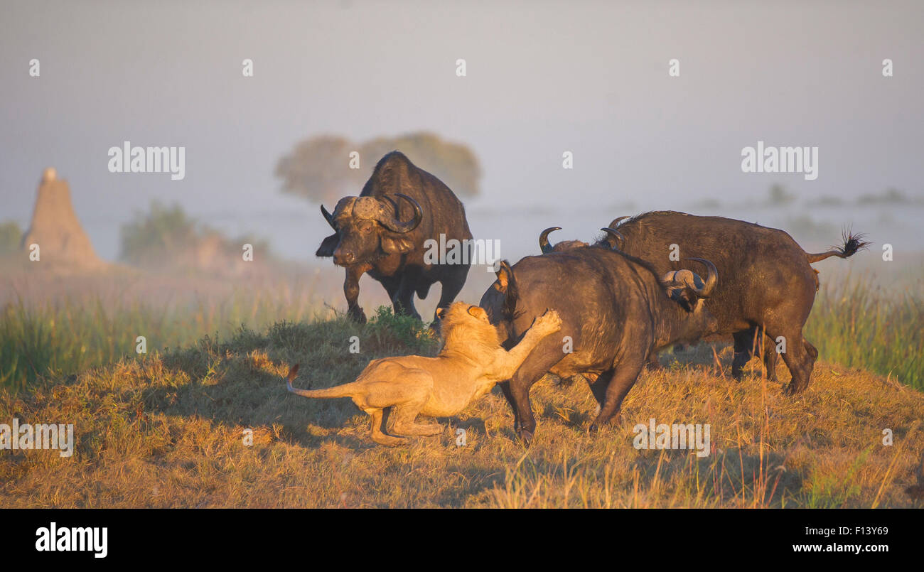 African lion (Panthera leo) attacking an African buffalo (Syncerus caffer), with other buffalo nearby, Okavango Stock Photo