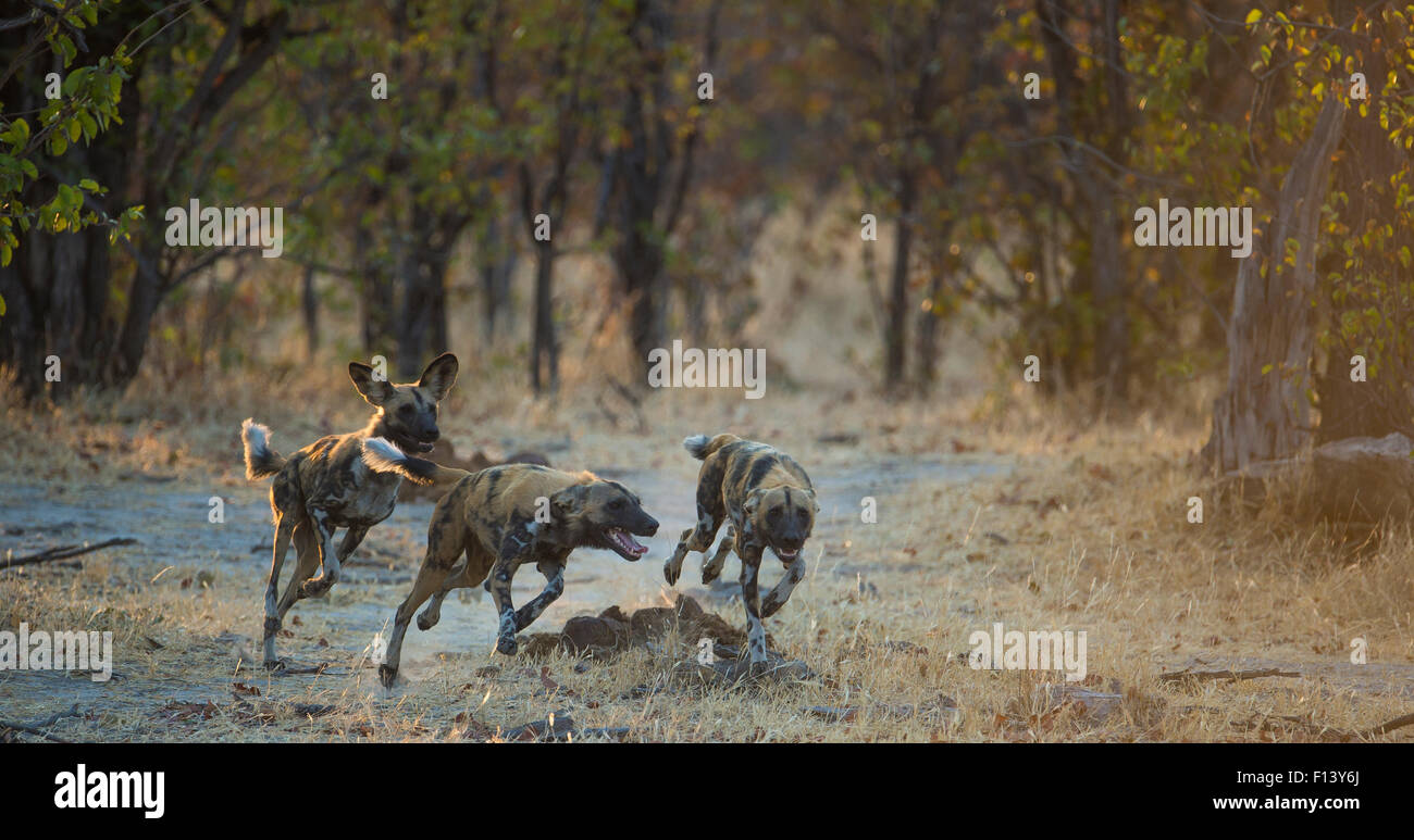 Small group of African wild dogs (Lycaon pictus) running and playing, Khwai River, Moremi Game Reserve, Botswana. - Stock Image