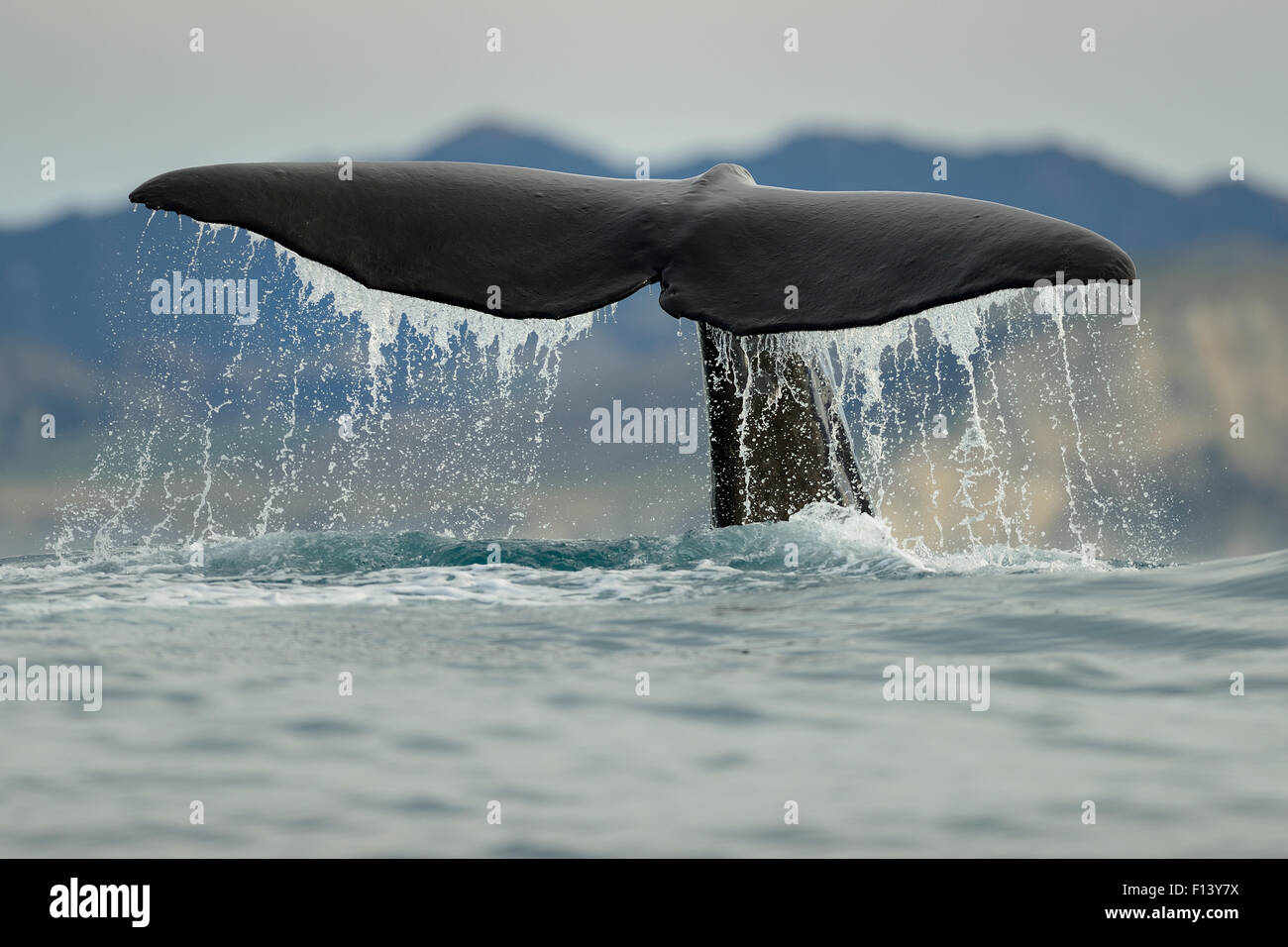 Sperm whale (Physeter macrocephalus) tail fluke above water during dive, Kaikoura, New Zealand, July, Vulnerable - Stock Image