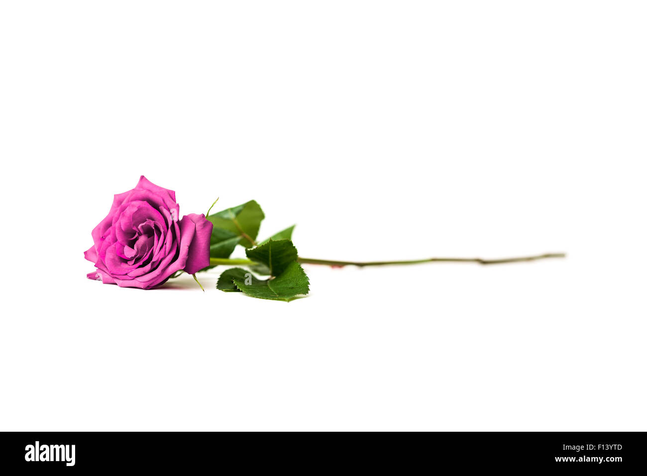 Purple Rose Isolated On A White Background