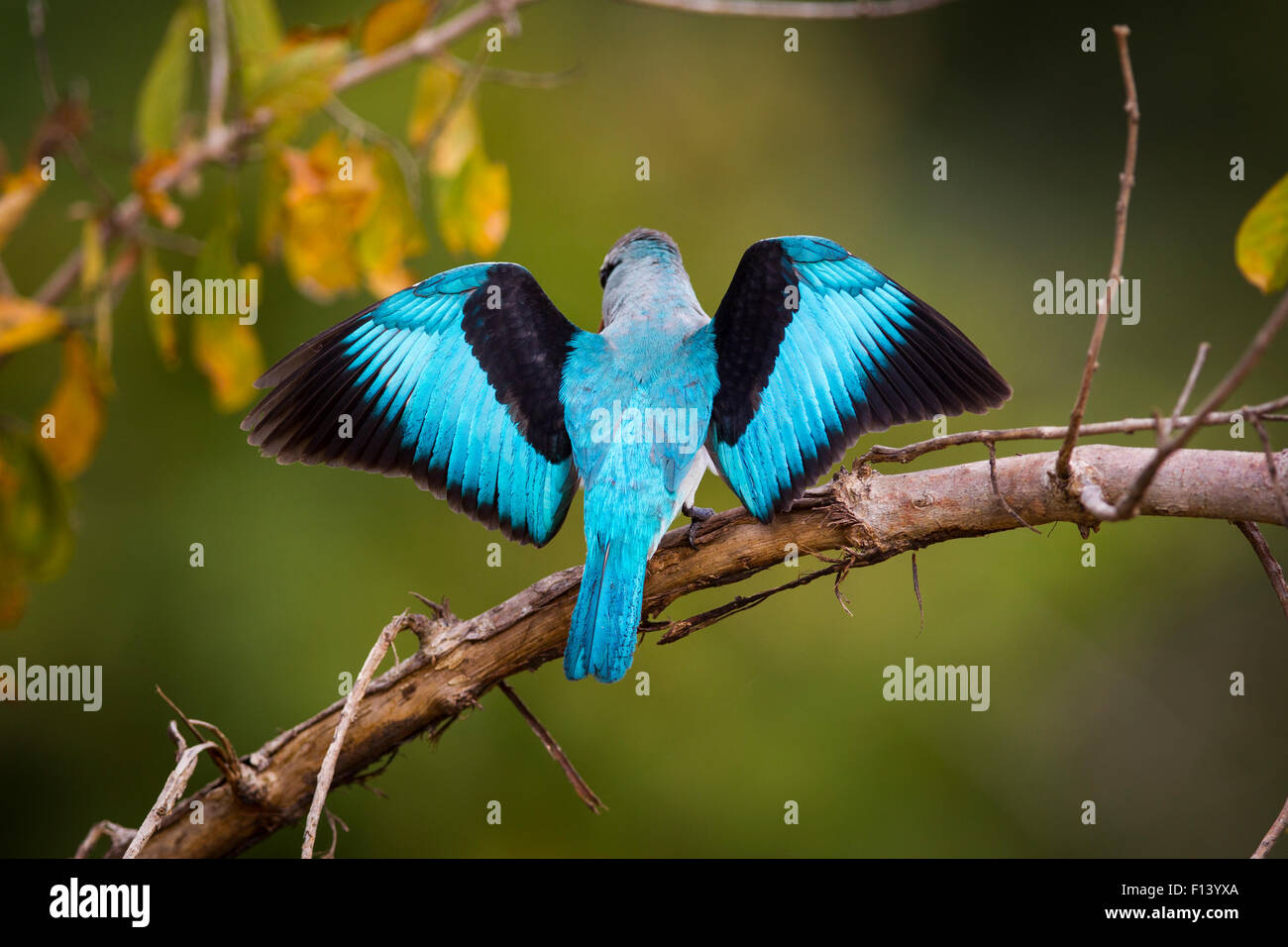 Woodland Kingfisher (Halcyon senegalensis) from behind with wings spread, South Luangwa National Park, Zambia. April. - Stock Image