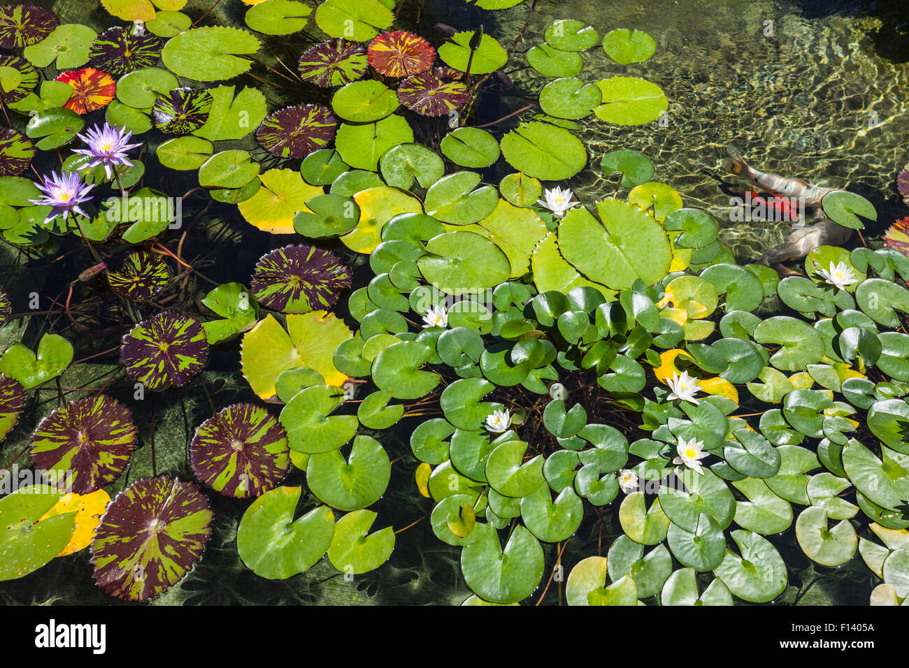 Lily pad pond with flowers and fish. - Stock Image