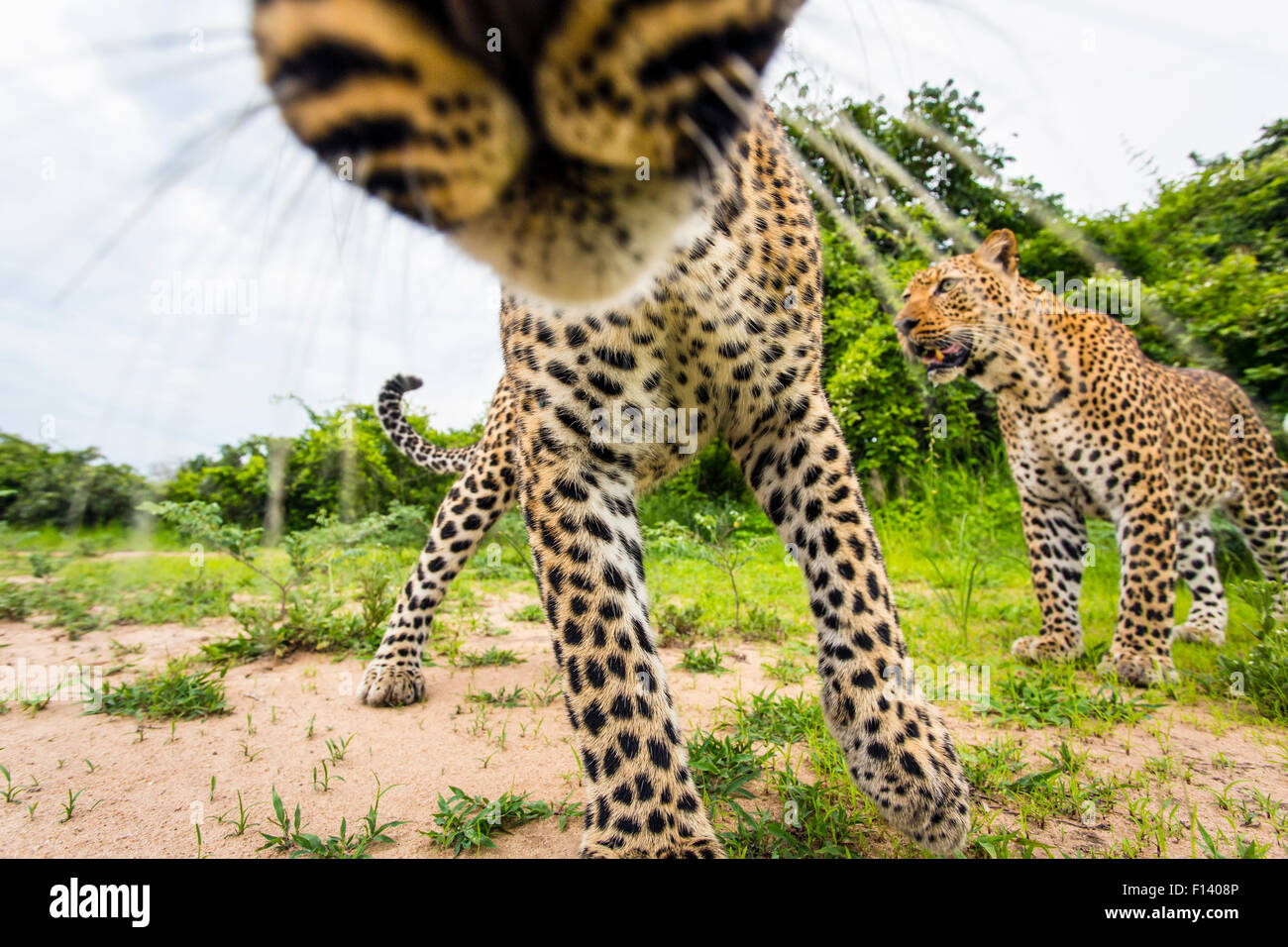African leopard (Panthera pardus pardus) investigating remote camera. South Luangwa National Park, Zambia. - Stock Image
