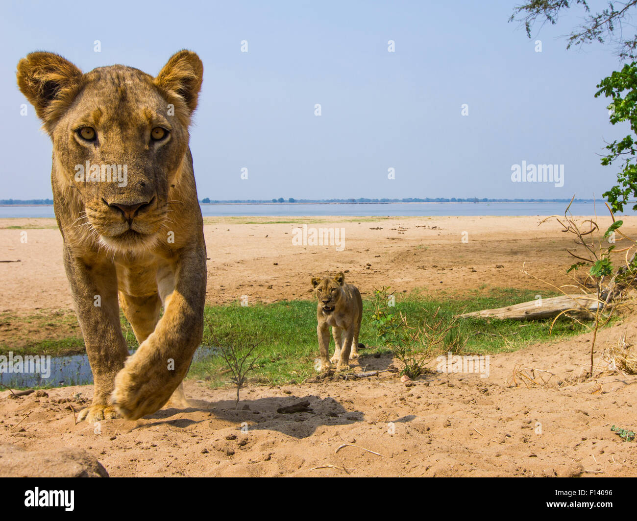 Lionesses (Panthera leo) in habitat, Lower Zambezi National Park, Zambia. - Stock Image