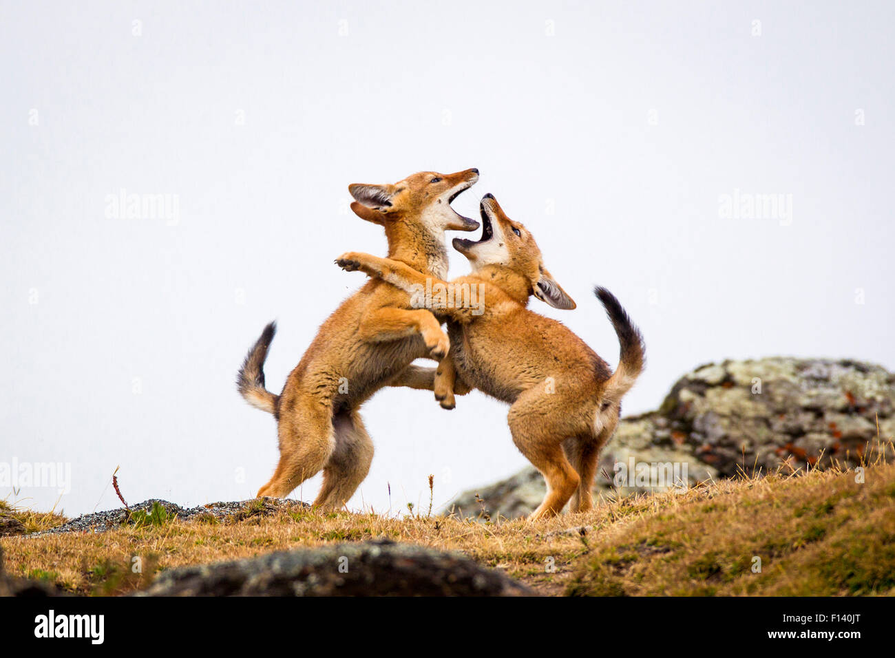 Ethiopian Wolf (Canis simensis) pups play fighting, Bale Mountains National Park, Ethiopia. - Stock Image