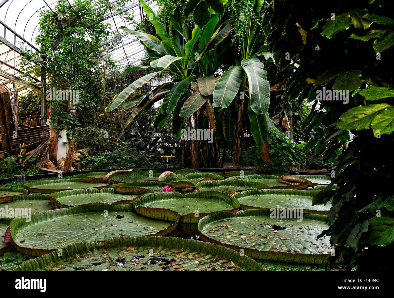 Giant water lilies in the tropical greenhouse at Ventnor Botanic Gardens, Isle of Wight Stock Photo