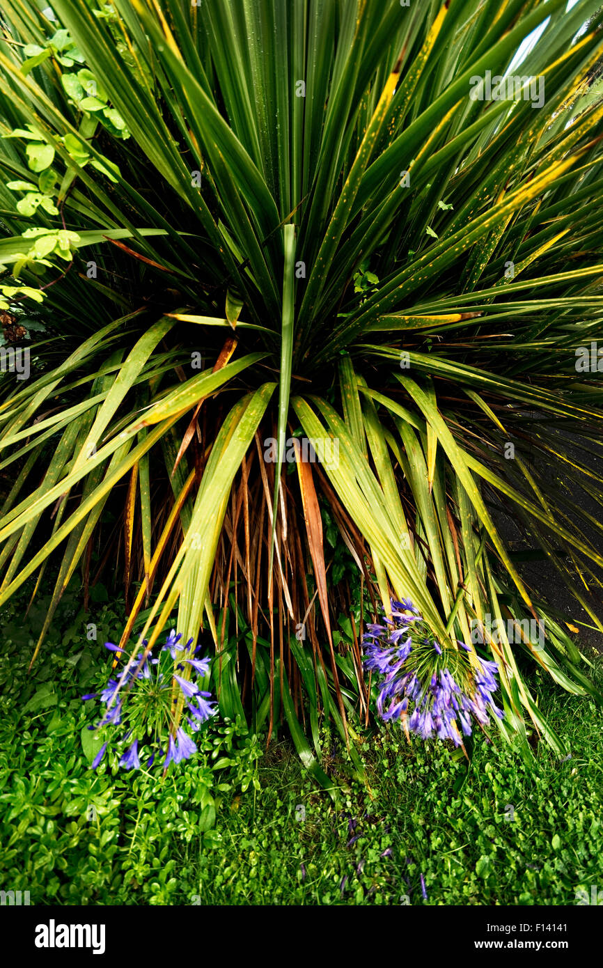 Agapanthus species are throwing flower spikes in many parts of Ventnor Botanic garden, Isle of Wight. - Stock Image