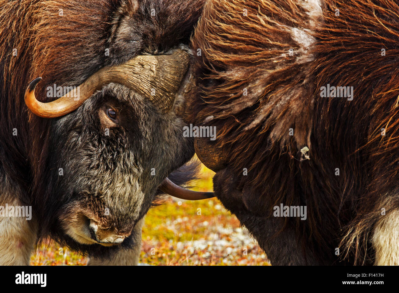 Musk ox (Ovibos moschatus) males fighting, Norway, September. - Stock Image