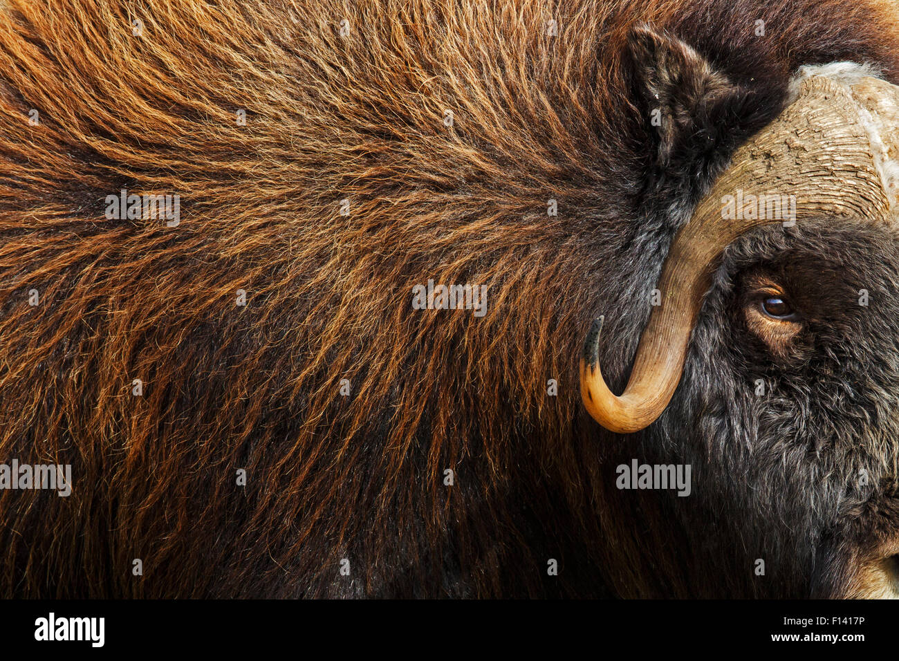 Musk ox (Ovibos moschatus) close up, Norway, September. - Stock Image