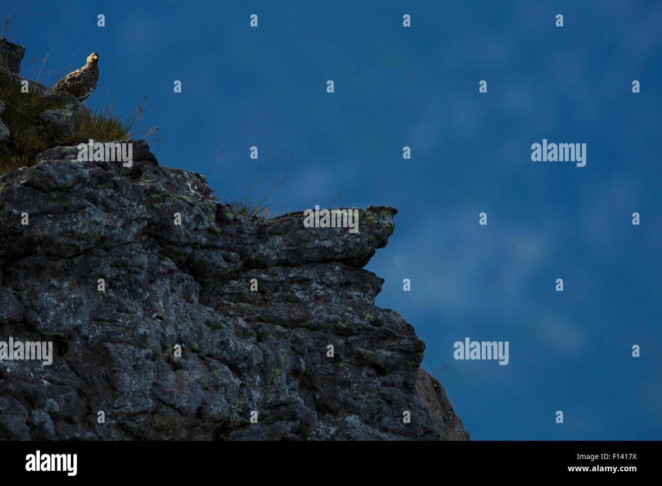Rock ptarmigan (Lagopus muta) in summer plumage,  on mountainside, Bernese Alps, Switzerland, August. - Stock Image