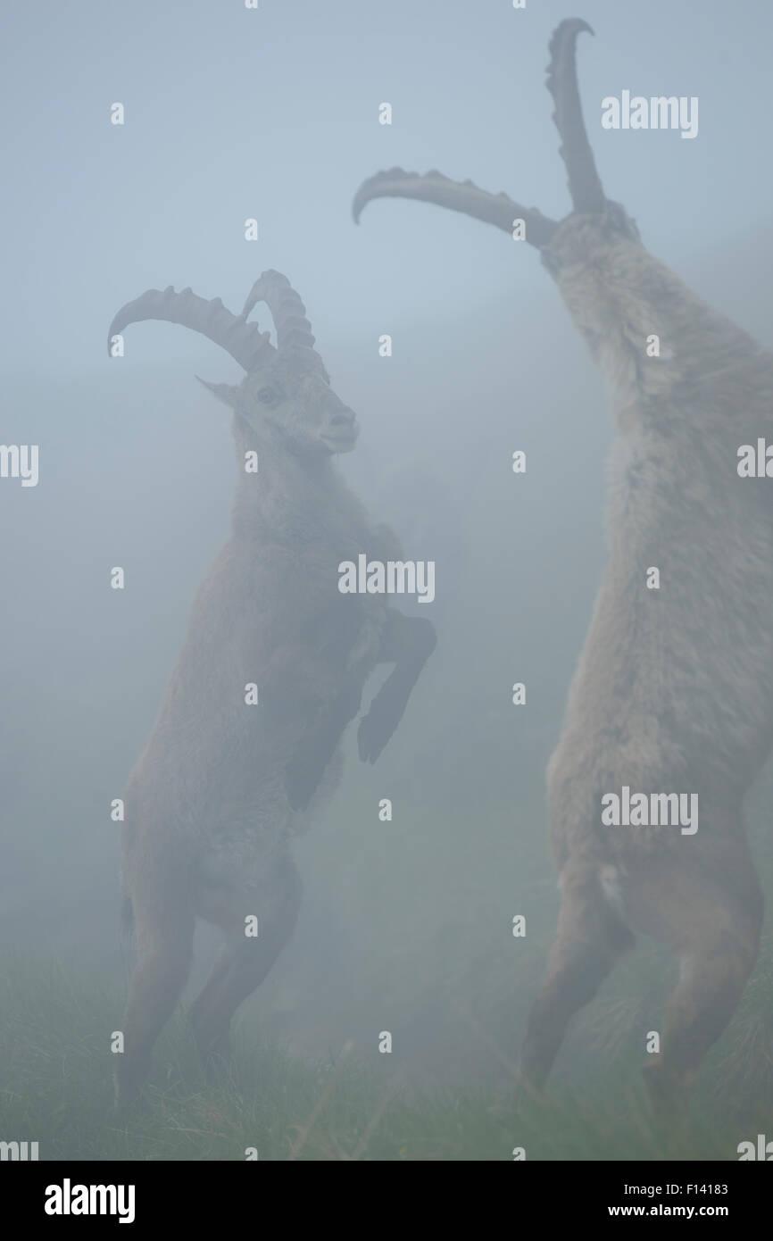 Alpine ibex (Capra ibex) males fighting in mist, Bernese Alps, Switzerland, July. - Stock Image