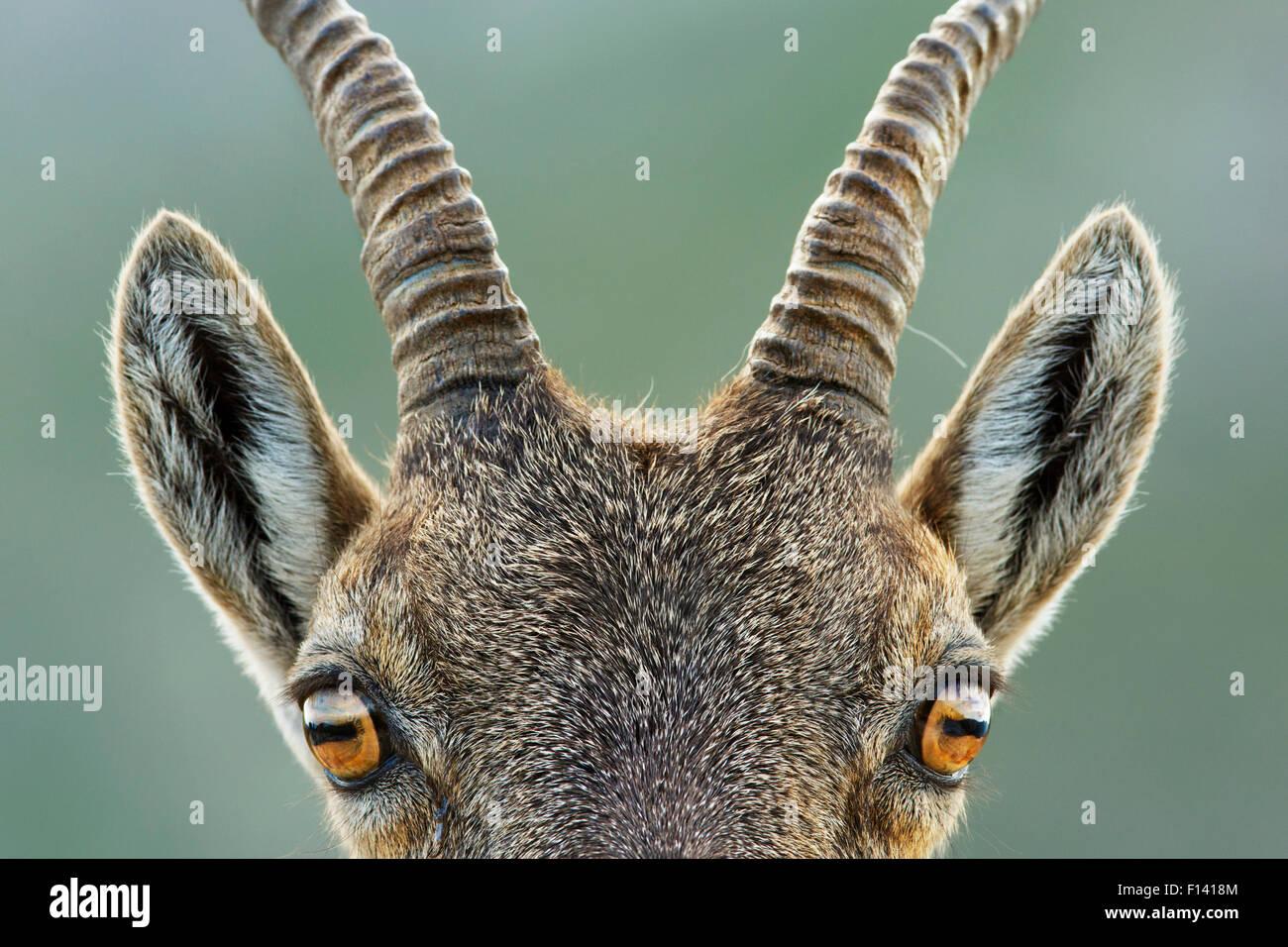 Alpine ibex (Capra ibex) close up portrait of young, Bernese Alps, Switzerland, August. - Stock Image