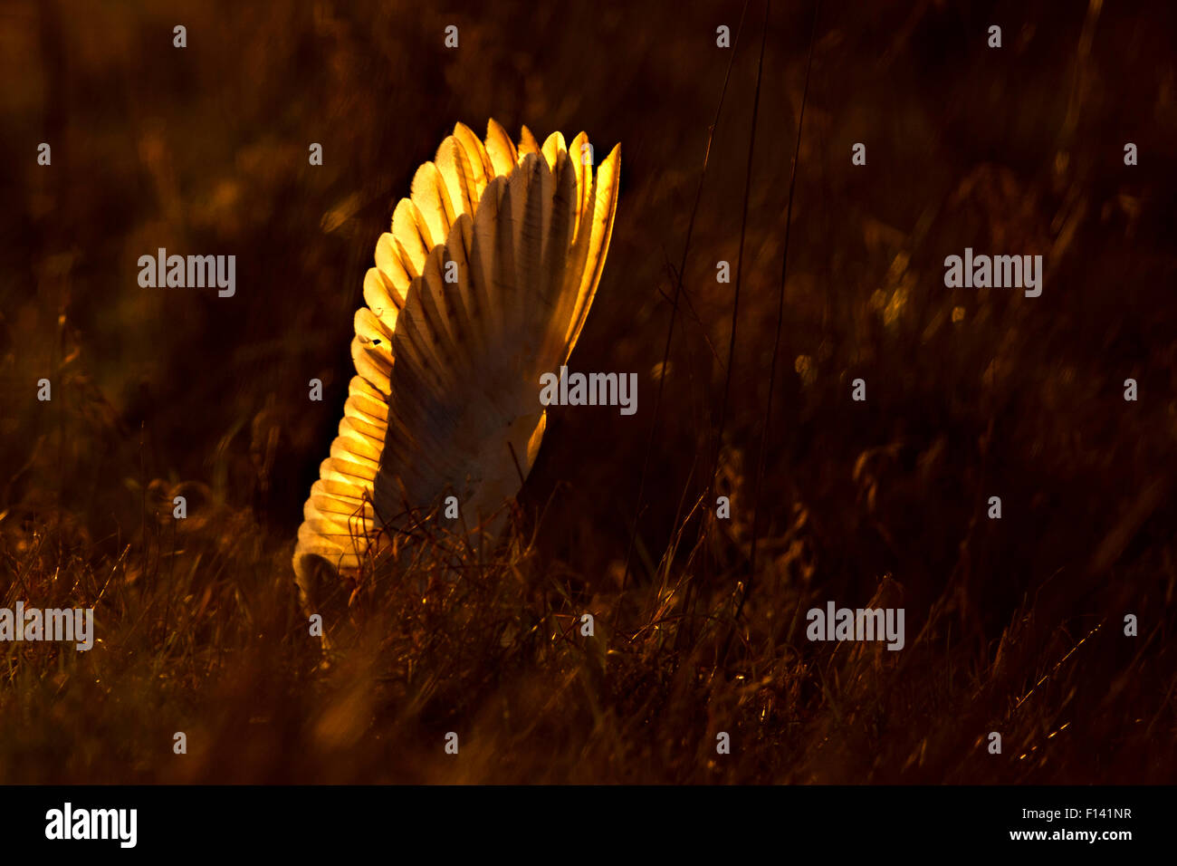 Barn Owl (Tyto alba) wings up right as it dives at prey, at sunrise, UK, March. - Stock Image