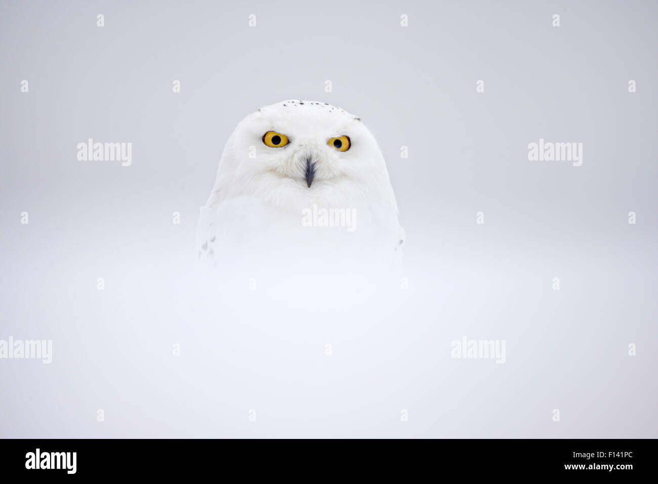 Snowy Owl (Bubo scandiacus) in snow, UK, January. Captive. - Stock Image