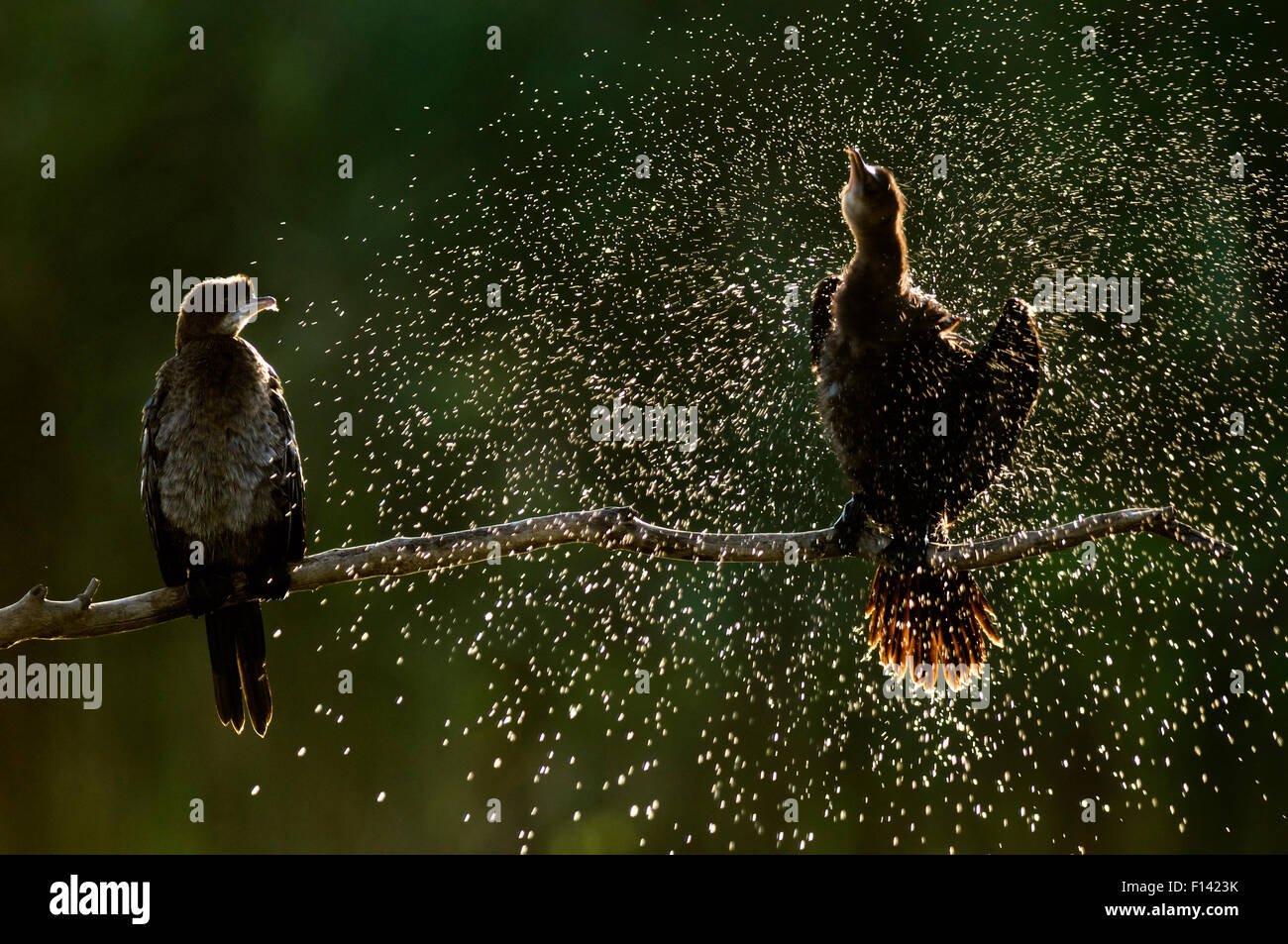 Pygmy cormorants (Phalacrocorax pygmaeus) drying their feathers, Hortobay, hungary, August. - Stock Image