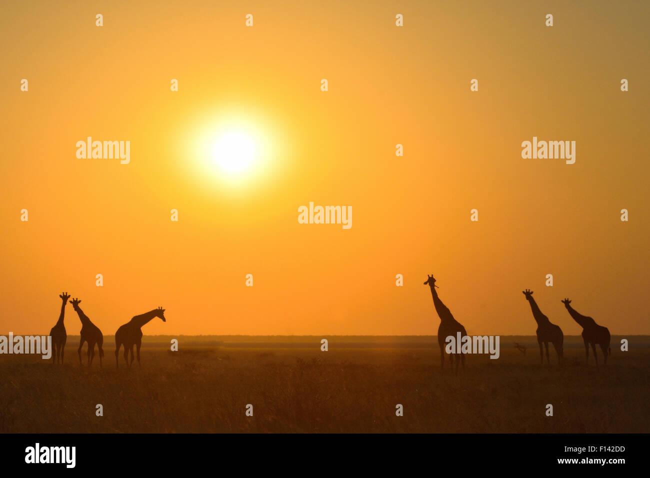 Six Giraffes (Giraffa camelopardalis) silhouetted against orange sky, Fishers Pan, Etosha National Park, Namibia, - Stock Image