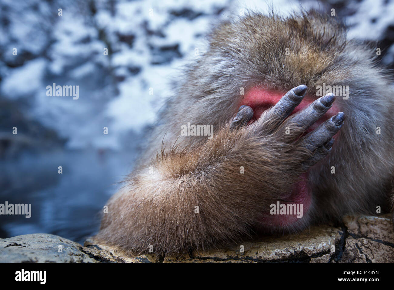 Japanese Macaque (Macaca fuscata) male resting at the edge of thermal hotspring pool with hand covering face, Jigokudani - Stock Image