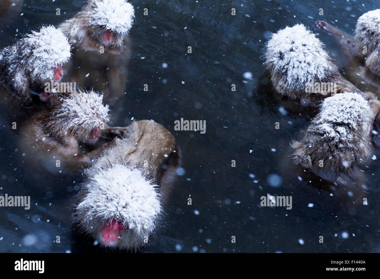 Japanese Macaques (Macaca fuscata) submerged in thermal hotspring pool. Jigokudani Yaen-Koen National Park, Japan, - Stock Image