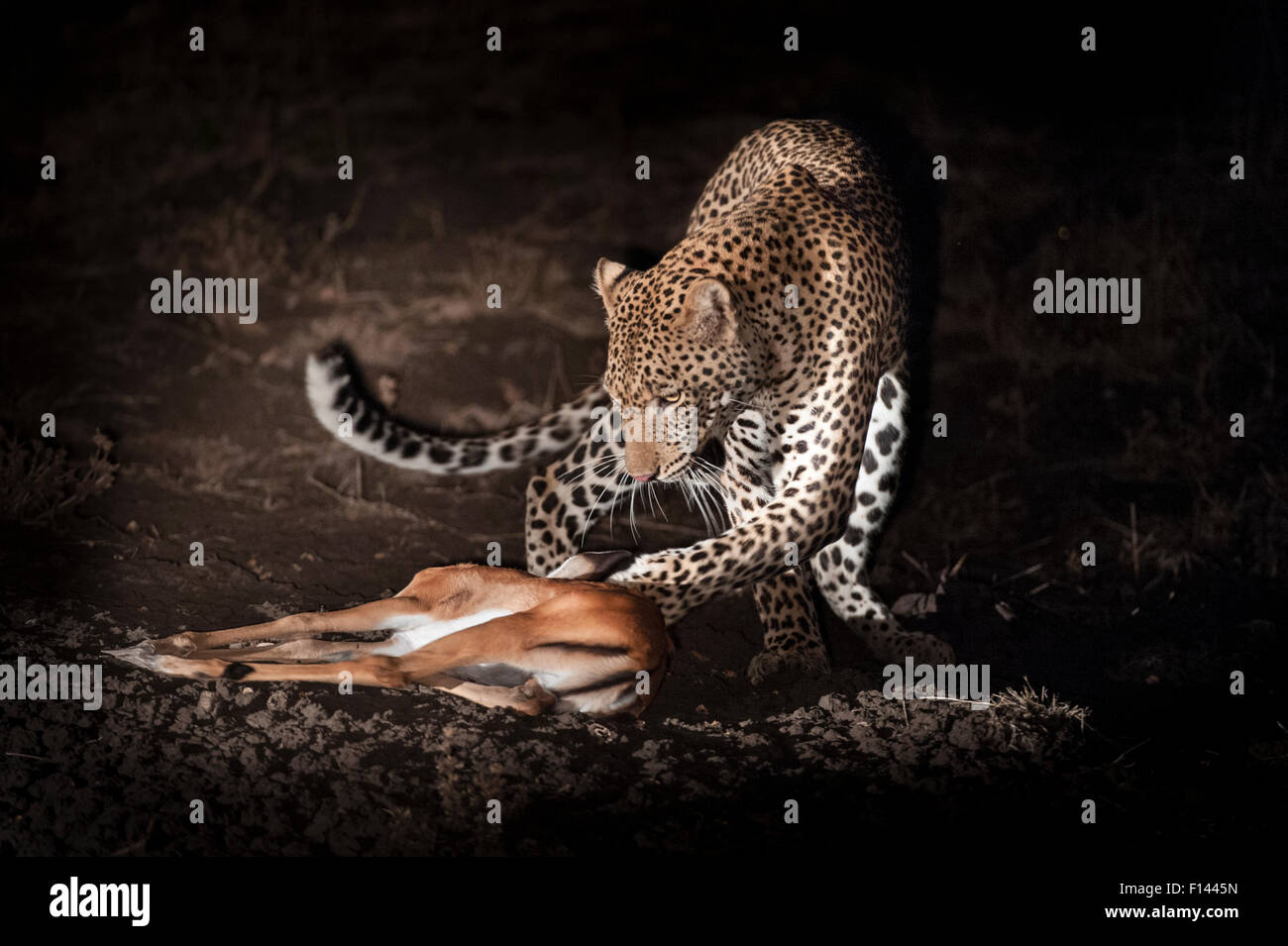 Young male Leopard (Panthera pardus) playing with kill after successfully hunting a young Impala at night. South - Stock Image