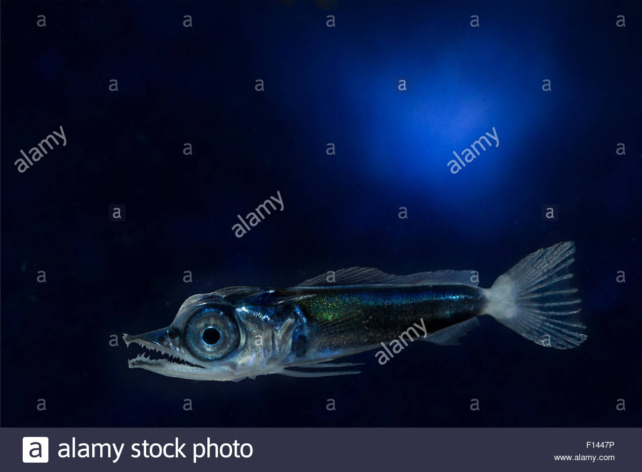 Planktonic larva of Pacific blue marlin (Makaira nigricans) Kona, Hawaii, USA. Digital composite. - Stock Image