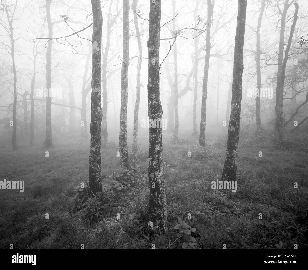 Black and white photograph of misty forest at the start of the Appalachian Trail on Springer Mountain, Georgia, - Stock Image