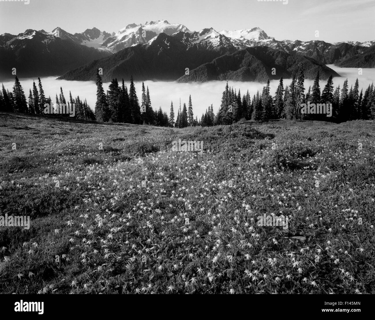 Black and white photograph of Glacier lilies (Erythronium grandiflorum) on High Divide in Olympic National Park, - Stock Image