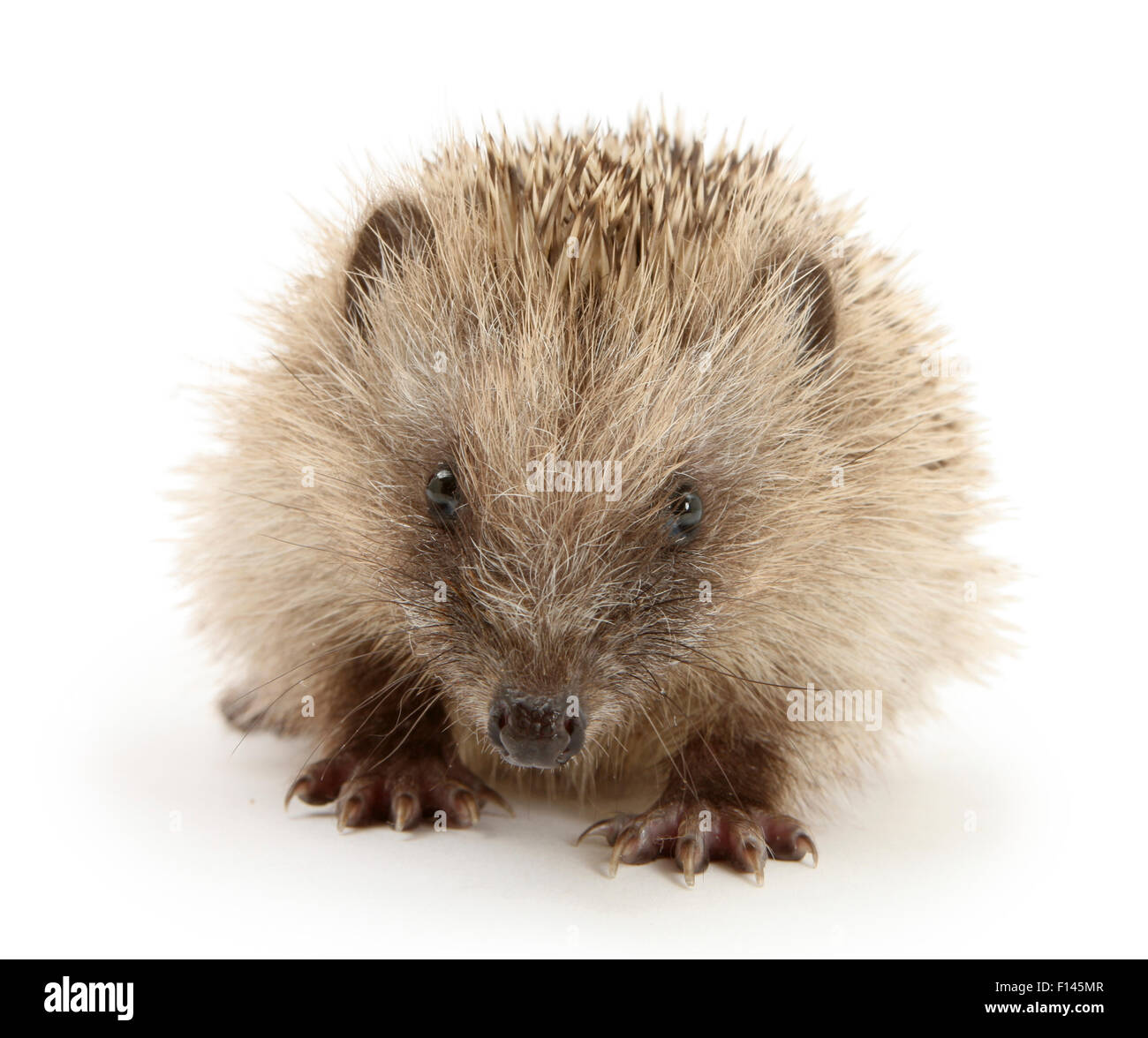 Baby Hedgehog (Erinaceus europaeus), against white background - Stock Image