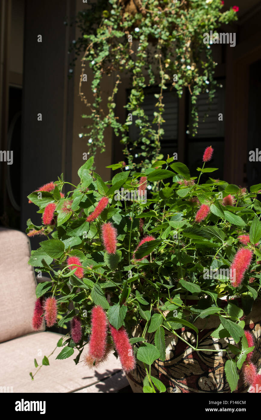 Chenille Plant Red Hot Cats Tail Strawberry Firetails Acalypha