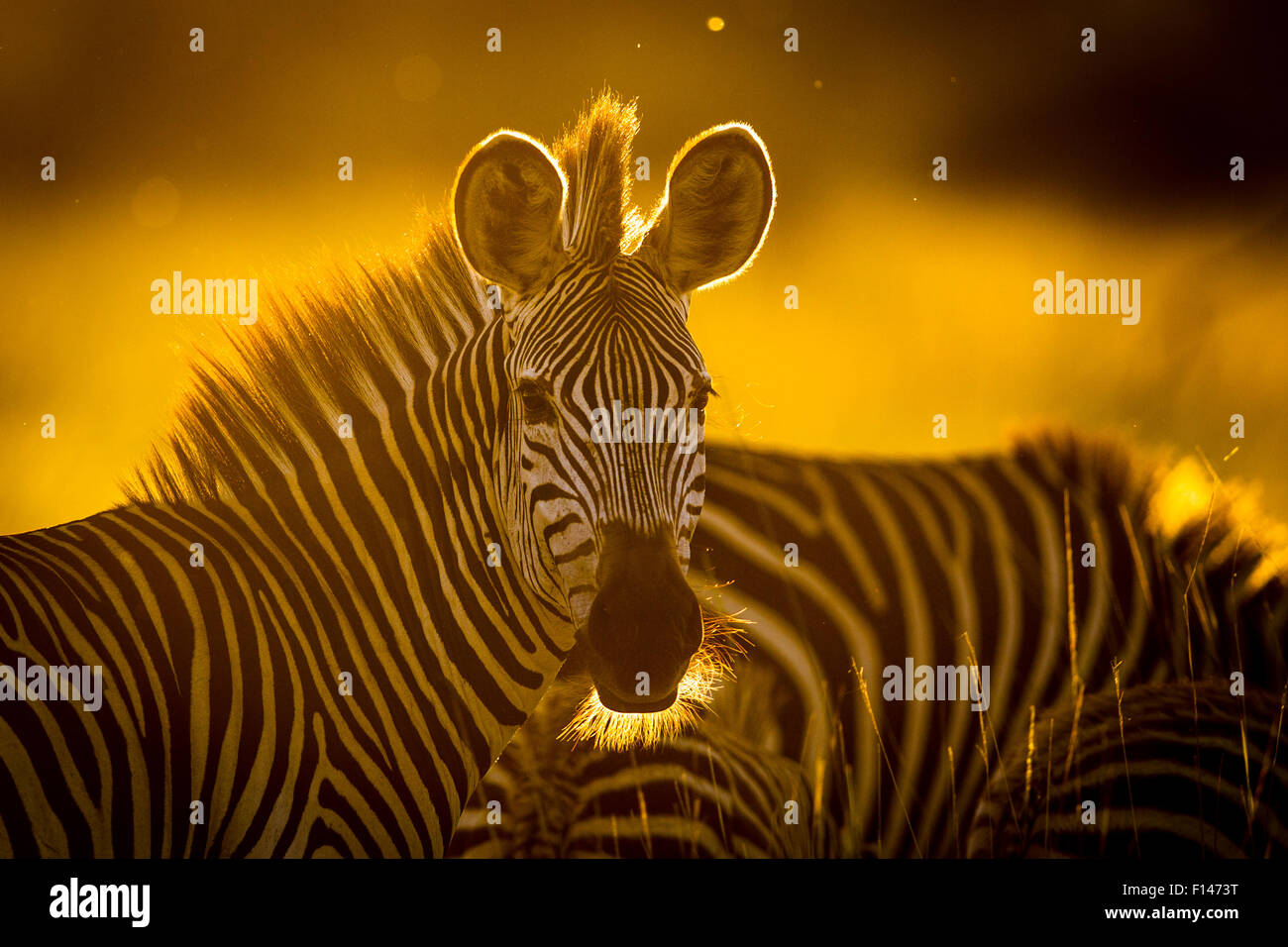 Crawshay's zebra (Equus quagga crawshayi) in evening light, South Luangwa National Park, Zambia. March. - Stock Image
