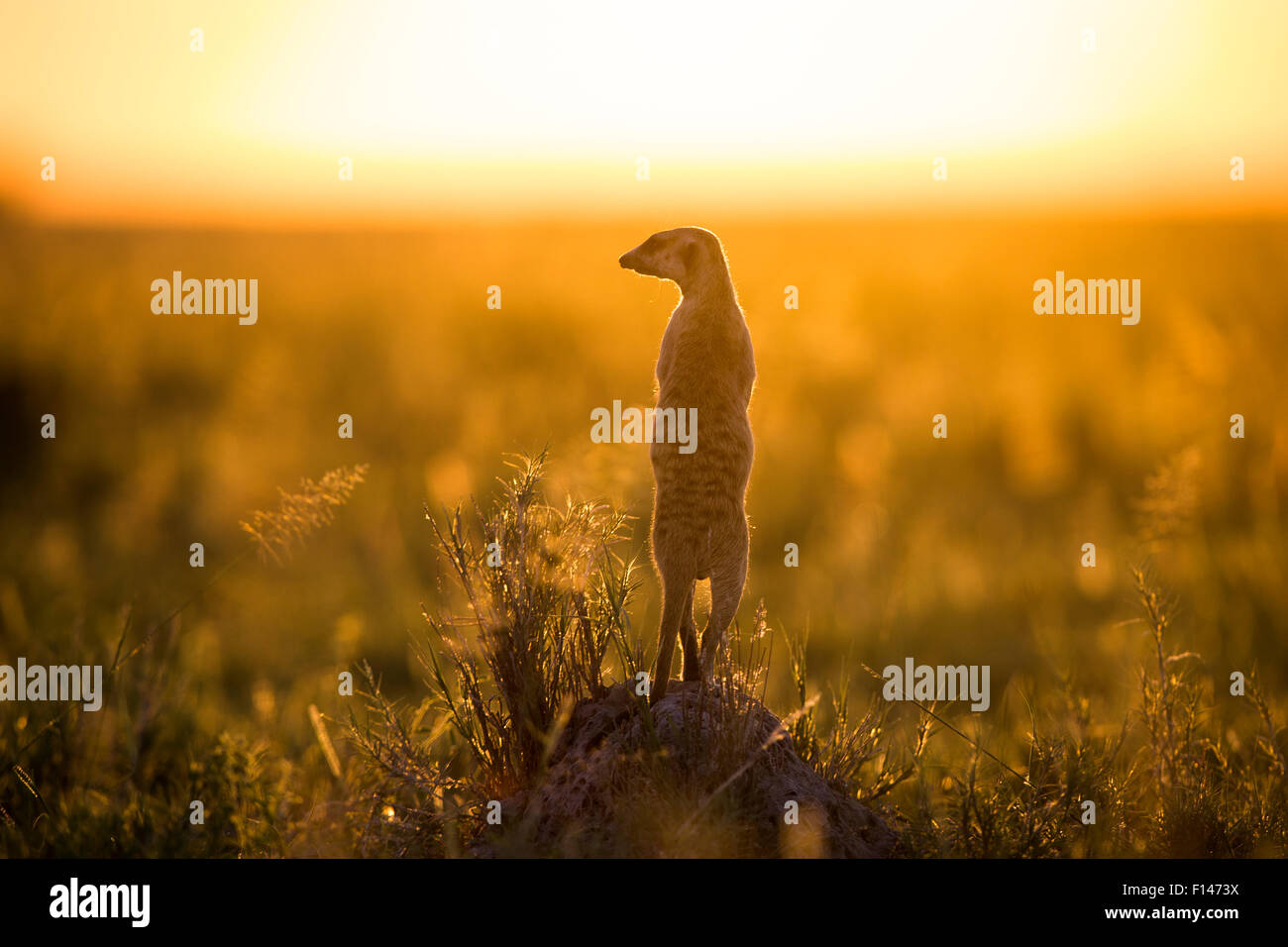 Meerkat (Suricata suricatta) standing alert on hind legs. Makgadikgadi Pans, Botswana. - Stock Image