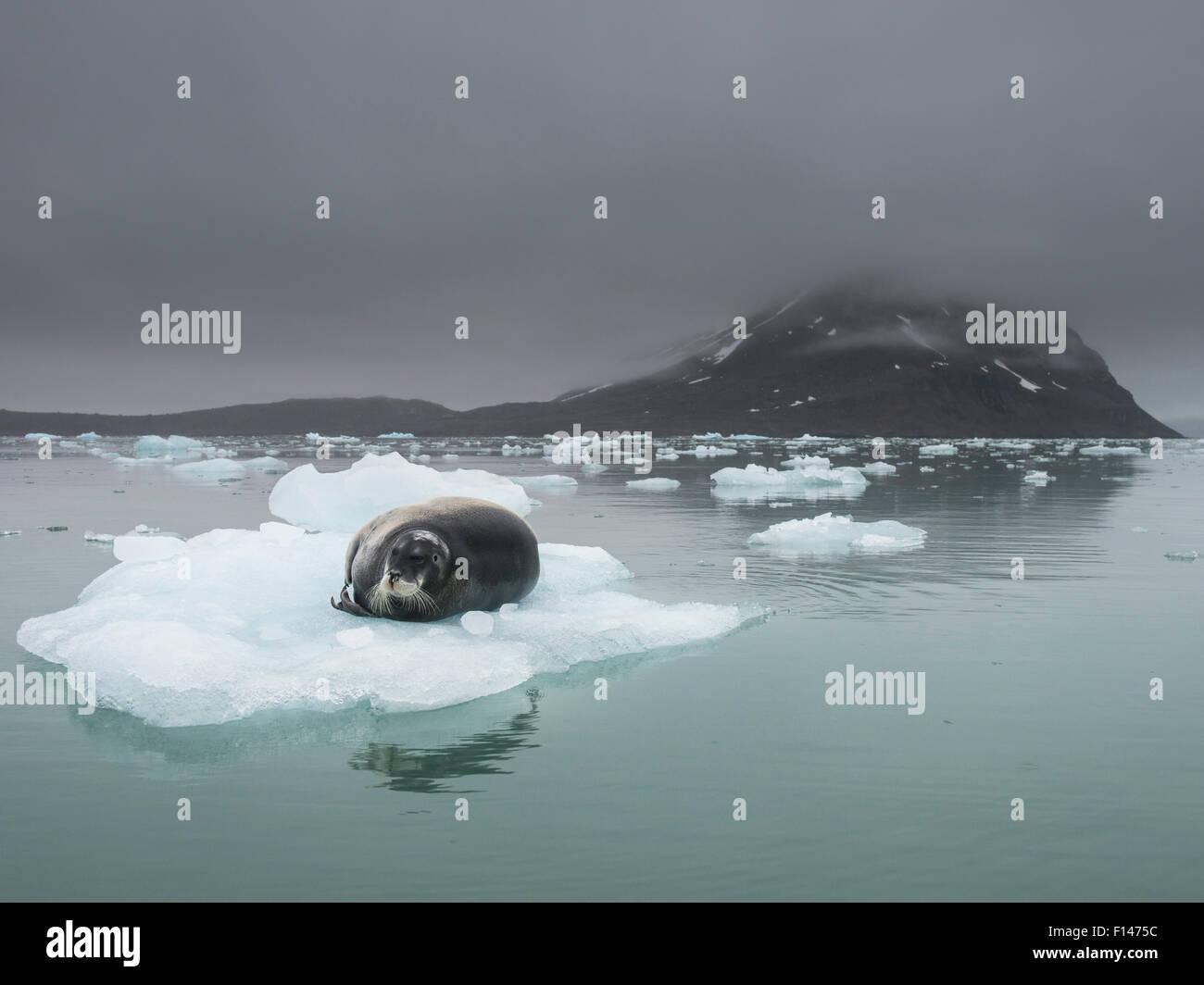 Bearded seal (Erignathus barbatus) resting on ice floe, Spitsbergen, Svalbard, Norway, July. - Stock Image