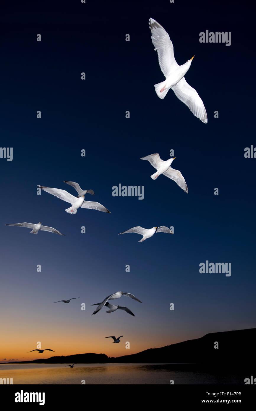 European Herring Gulls (Larus argentatus) in flight at sunset  Norway, May. - Stock Image