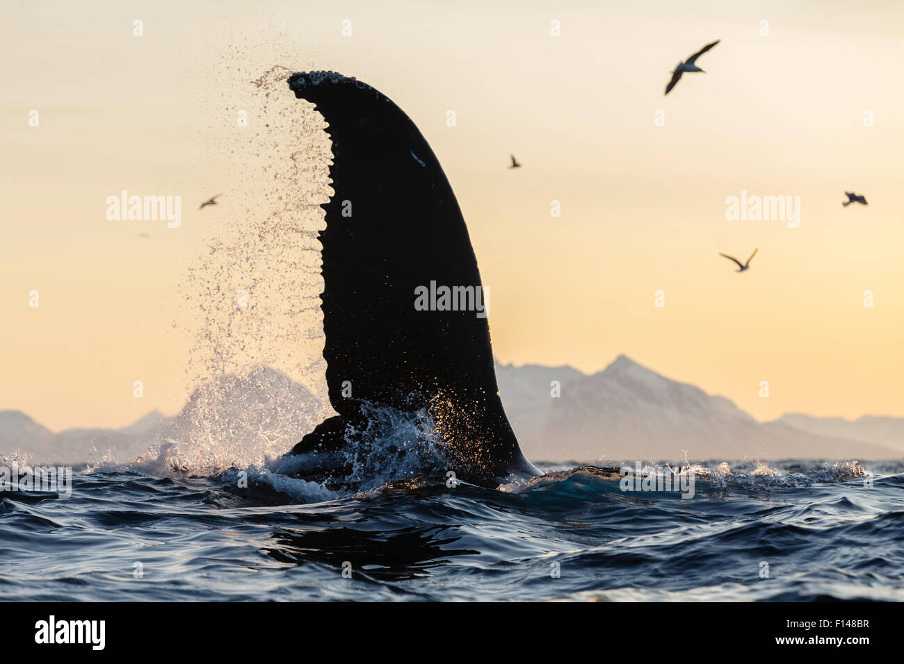 Humpback whale (Megaptera novaeangliae) with fin above water, Andfjorden close to Andoya, Nordland, Northern Norway. - Stock Image