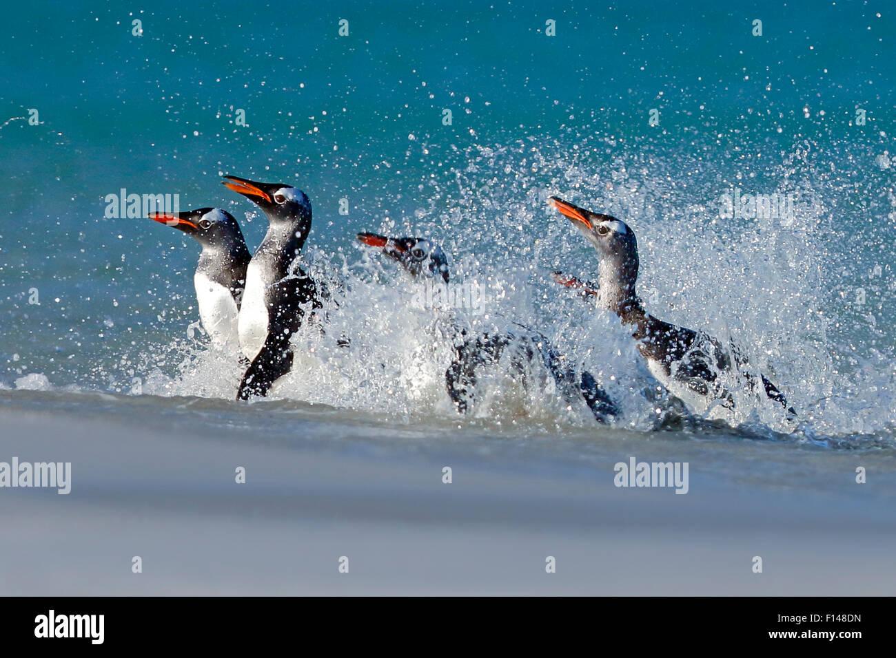 Gentoo penguins (Pygoscelis papua) surfing onto beach, Carcass Island, Falkland Islands. - Stock Image