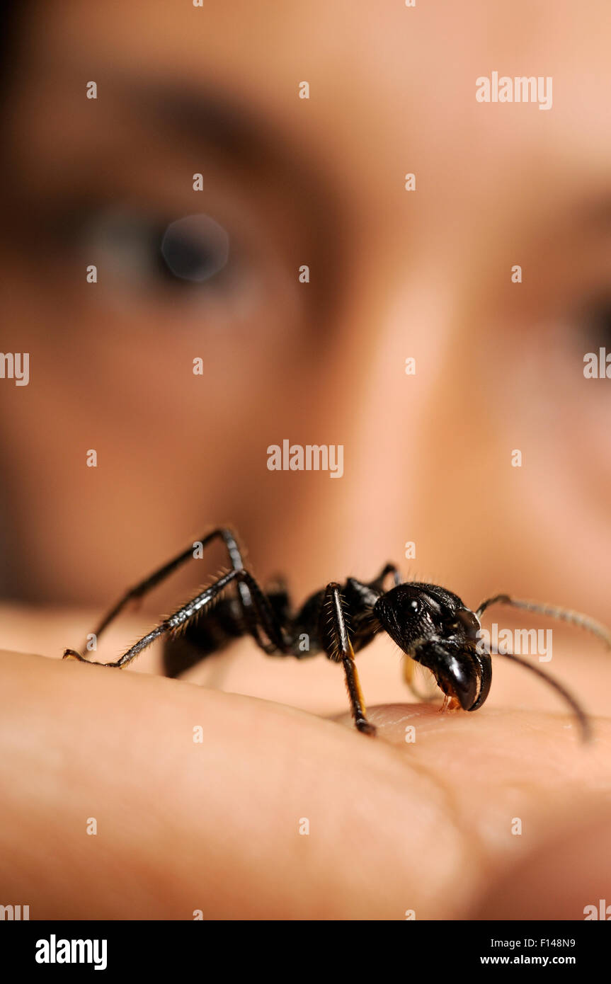 Biologist with Isula / Bullet ant (Paraponera clavata) on hand, Peru. Model released. Stock Photo