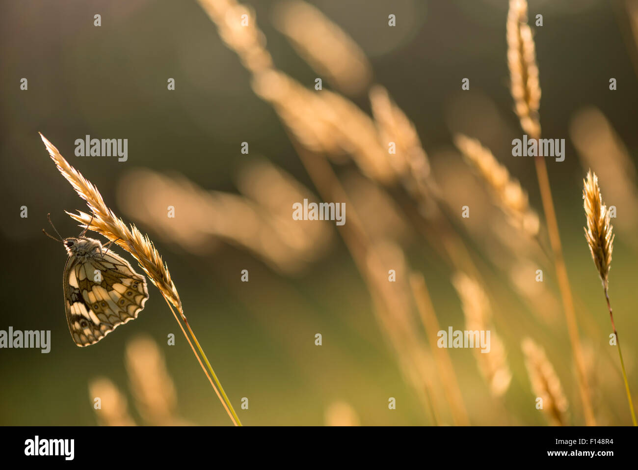 Marbled white butterfly (Melanargia galathea) resting on reed, Devon, UK, July. Stock Photo