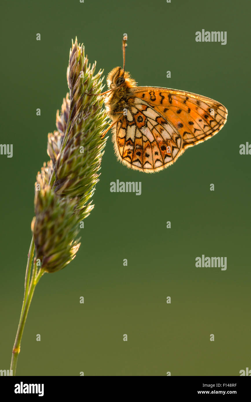 Small pearl bordered fritillary butterfly (Boloria selene) resting on grass, backlit underwing, Marsland Mouth, Stock Photo