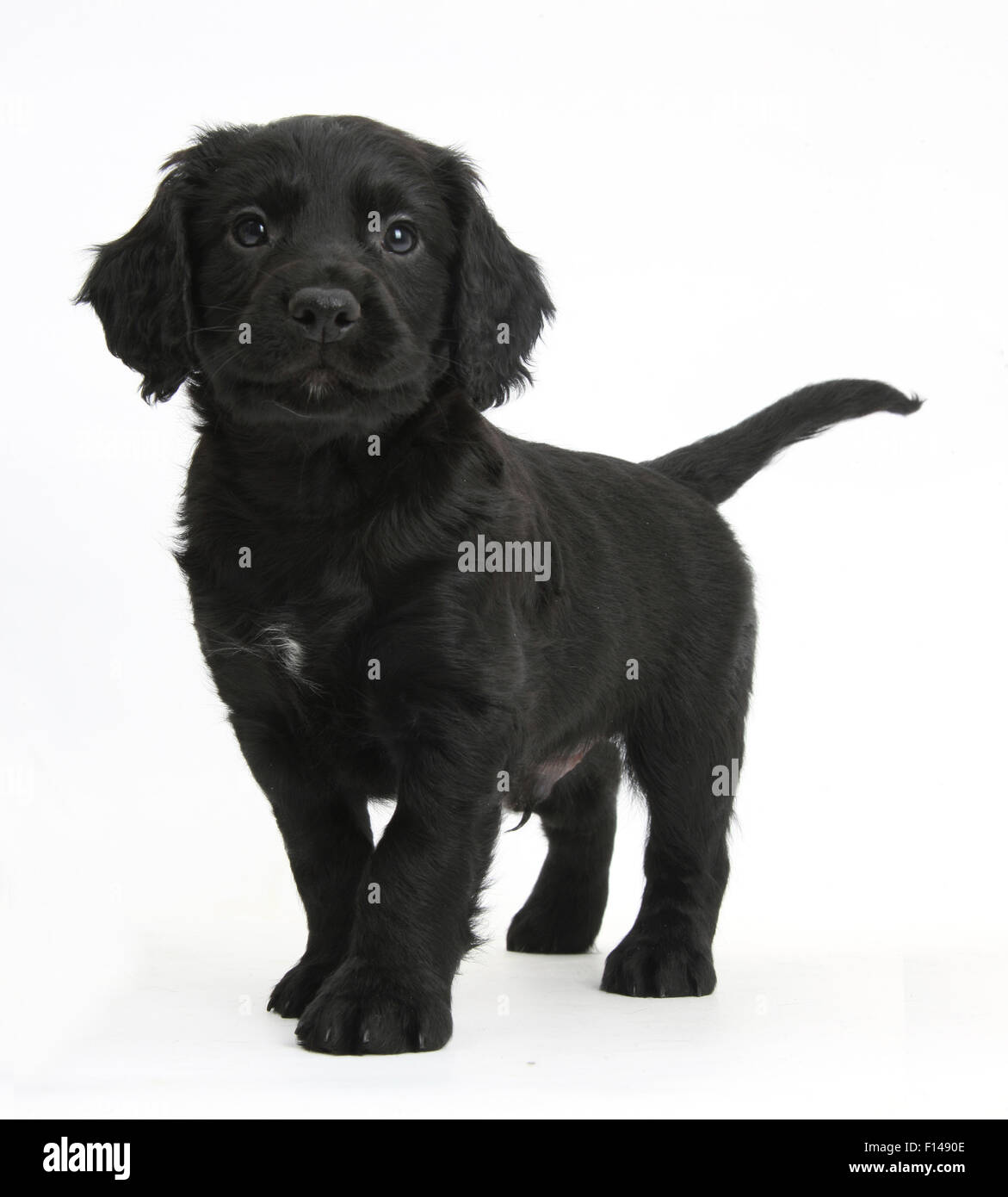 Black Cocker Spaniel puppy standing, against white background - Stock Image