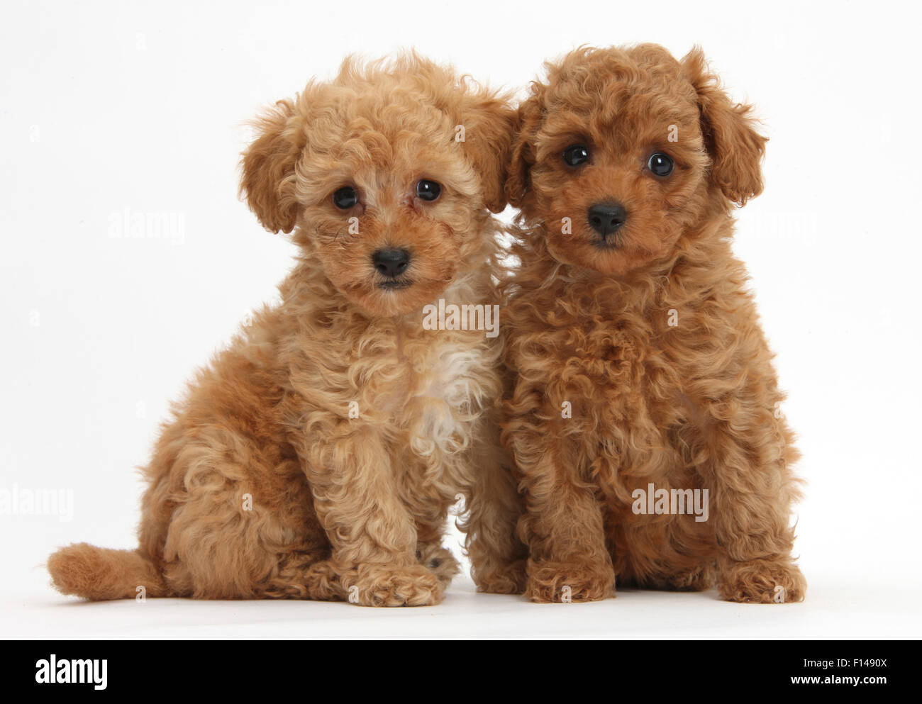 Two cute red Toy Poodle puppies, against white background