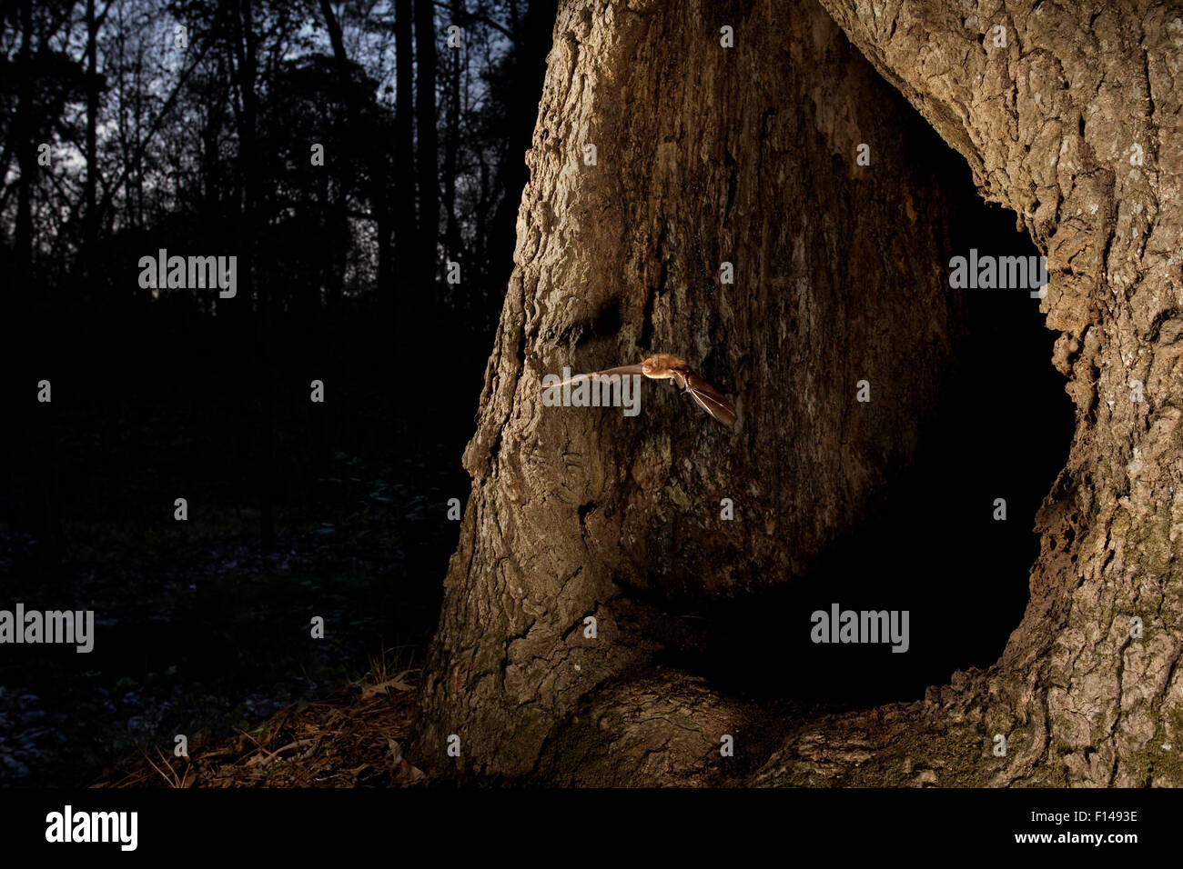 Southeastern myotis (Myotis austroriparius) flying out of a hollow tree roost at dusk, Central Texas, March. - Stock Image