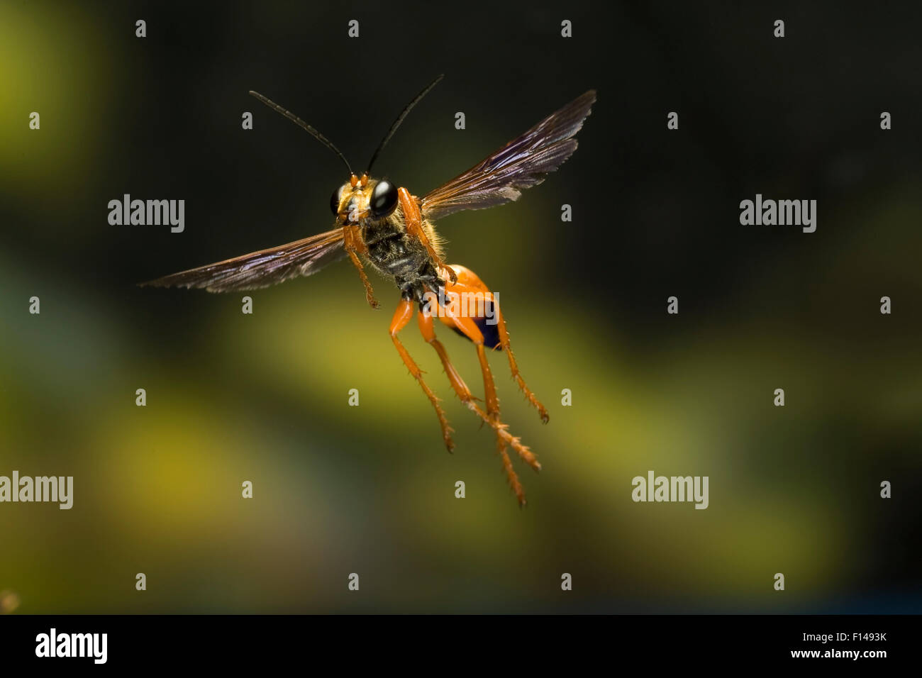 Male Great golden digger wasp (Sphex ichneumoneus) in flight, South Texas, USA, September. Stock Photo