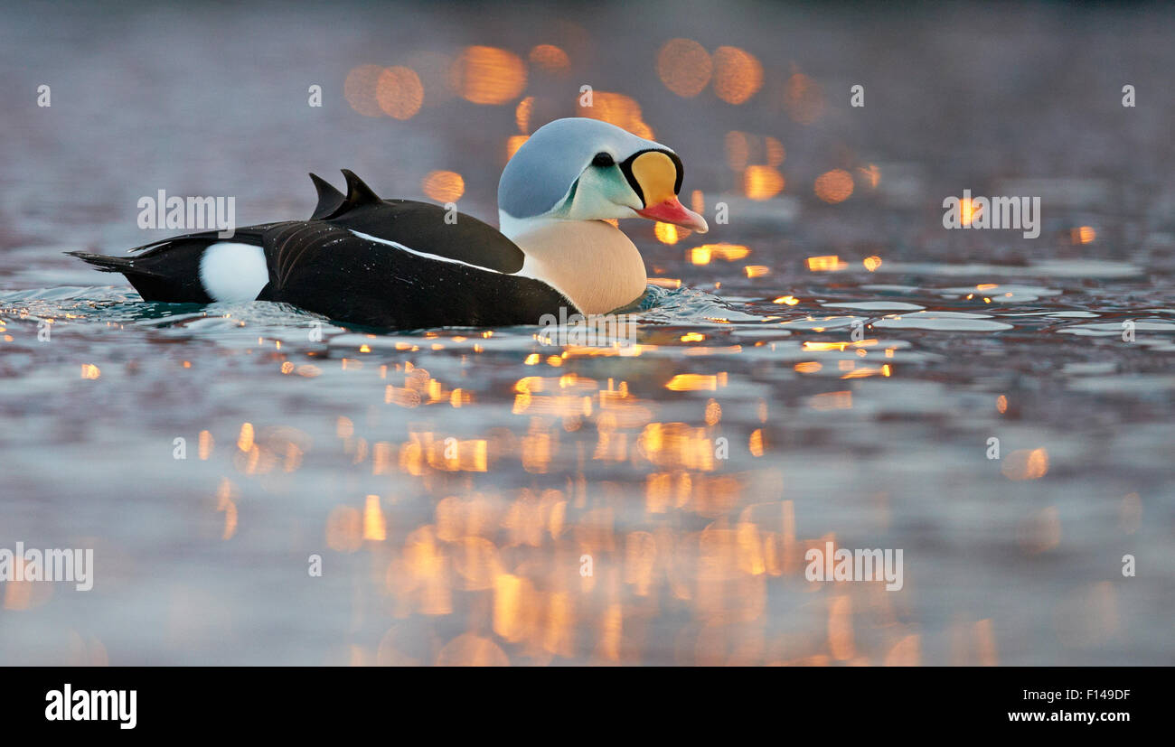 Male King eider duck (Somateria spectabilis) on water, Batsfjord, Norway, March. - Stock Image