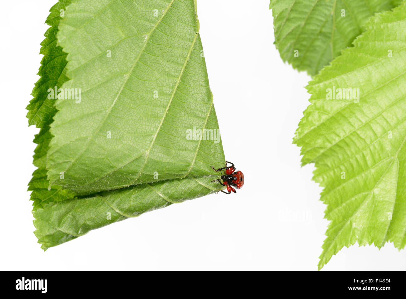 Hazel Leaf-roller Weevil (Apoderus coryli) rolling leaf, Westensee, Germany, June. Captive. (Sequence 4/7) - Stock Image