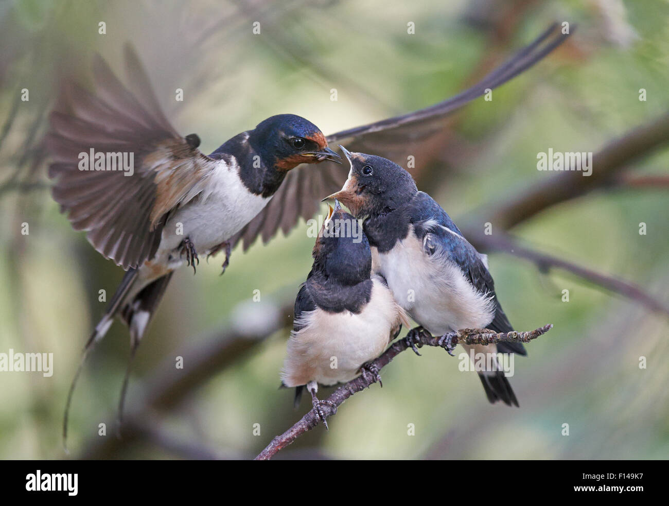 Swallow (Hirundo rustica) feeding chicks, Uto, Finland, July. - Stock Image