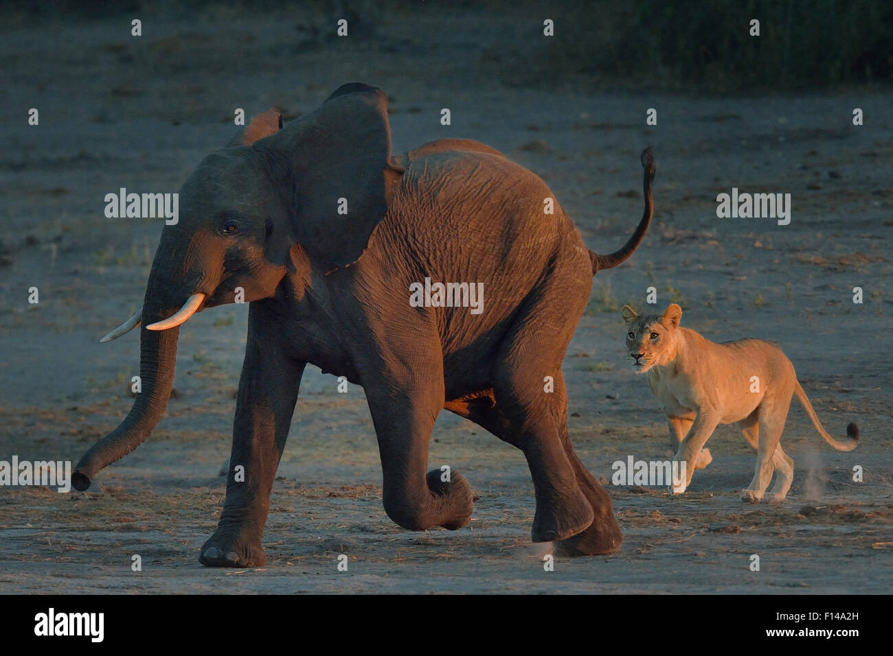Lioness (Panthera leo) chasing young African elephant (Loxodonta africana) bull, Chobe River, Botswana, May, Vulnerable - Stock Image
