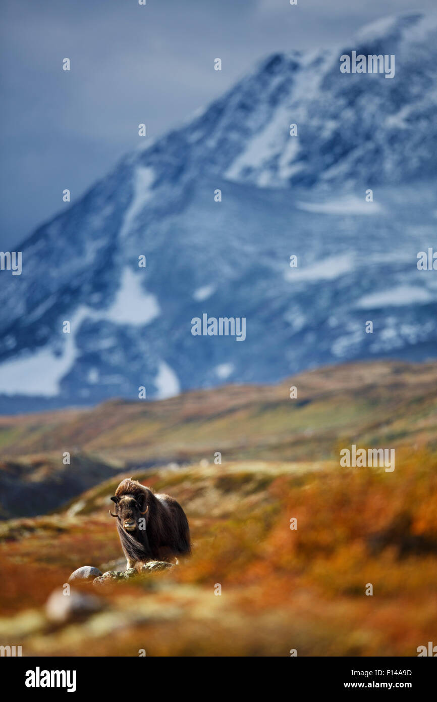 Musk ox (Ovibos moschatus) in habitat, Norway, September. - Stock Image