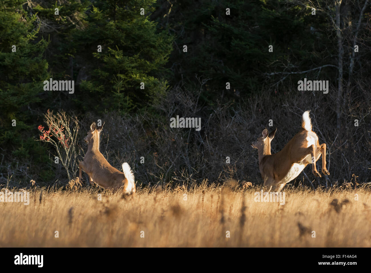 White-tailed Deer (Odocoileus virginianus) rear view of does running through meadow at sunrise. Acadia National Stock Photo