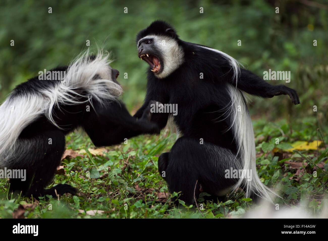 Eastern Black-and-white Colobus (Colobus guereza) monkeys play fighting. Kakamega Forest National Reserve, Western Stock Photo