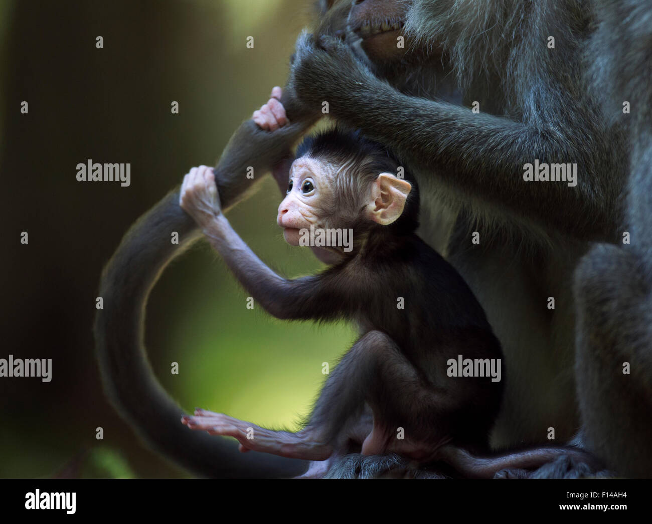 Long-tailed macaque (Macaca fascicularis) baby aged 2-4 weeks holding on to an adult's tail while it is being - Stock Image